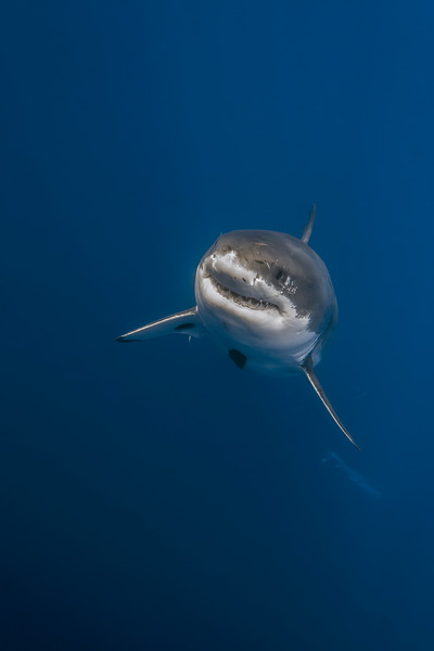 Great white shark rising from the deep