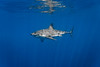 Great white shark - left profile