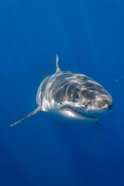Cal Ripfin - Great White Shark portrait
