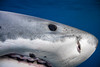 EXTREME CLOSE-UP GREAT WHITE SHARK