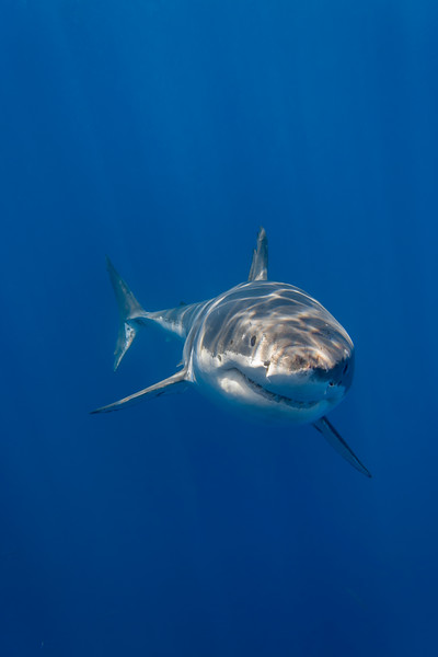 Portrait of Cal Ripfin - Guadalupe's most famous white shark