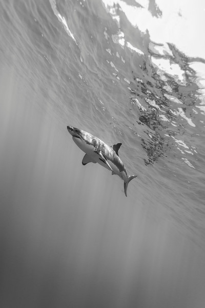 Male great white shark from below