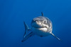 Cal Ripfin (great white shark) smiling for the camera