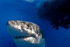 Peek-a-boo! (great white shark)