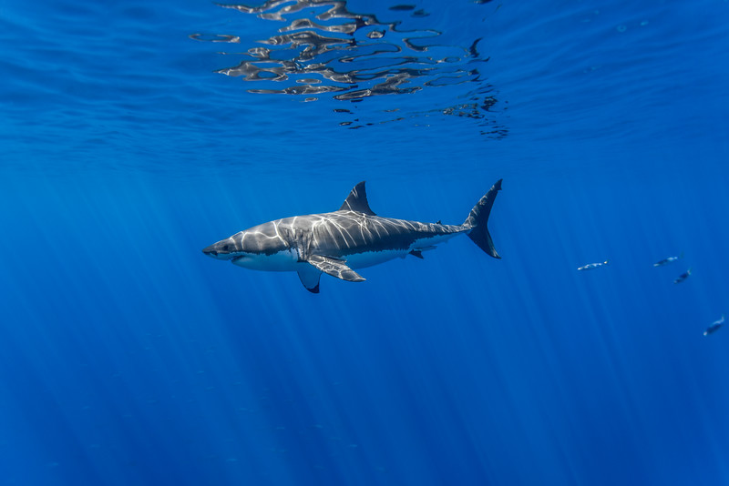 Male great white shark - left side