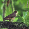 Bridled Quail-Dove, Guadeloupe, 27 July 2019