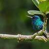Blue-headed Hummingbird; Martinique, 2 August 2019