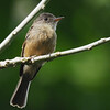 Lesser Antillean Pewee, Dominica, 31 July 2019