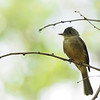 Lesser Antillean Pewee, Guadeloupe, 27 July 2019