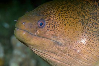 Gymnothorax javanicus (Bleeker, 1859)
