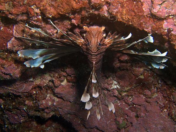 Pterois volitans Linné, 1758