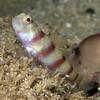 Amblyeleotris katherine Randall, 2004