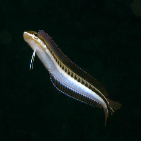 Plagiotremus tapeinosoma Bleeker, 1857