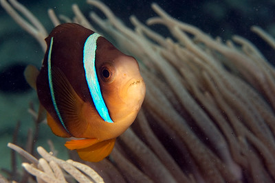 Amphiprion chrysopterus Cuvier, 1830