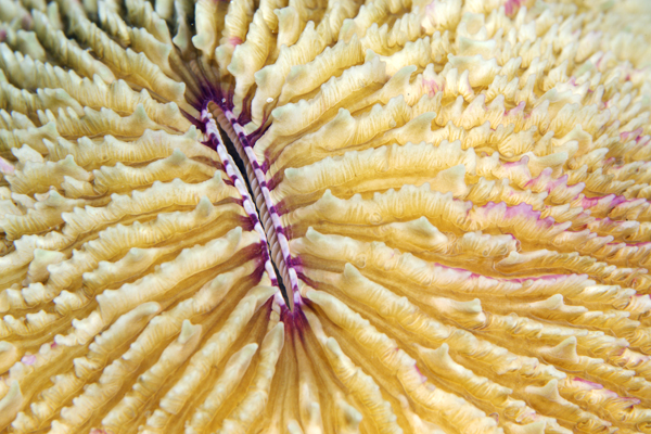 Fungiid sp.