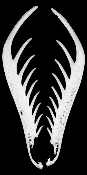 Mantis Shrimp appendage