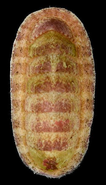 Tegulaplax hululensis (E. A. Smith, 1903)?
