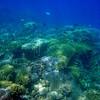 Porites-dominated coral reef community in Apra Harbor, Guam