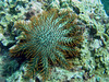Crown of Thorns starfish on a coral colony