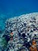 Coral colony in the Tumon Bay Marine Preserve, Guam
