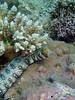 nowflake Moray (Echidna nebulosa)