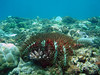 Crown of Thorns starfish on an Acropora sp. colony