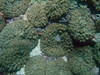 An aggregation of corallimorphs (Discosoma sp.)