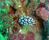 A nudibranch, Phyllidia sp., near Toguon Bay, Guam