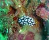 A nudibranch, Phyllidia sp., near Toguon Bay, Guam