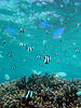 Fishes hovering above coral in the Tumon Bay Marine Preserve