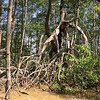 This black mangrove tree is about 400 years old, said William