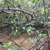 Pineapple Mangrove tree - one of three kinds in this forest
