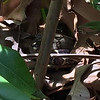 A young boa constrictor snake - well spotted by the boat driver