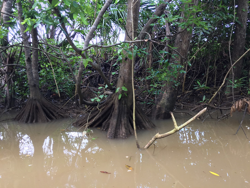 """Mangrove tree roots growing """"up"""" rather than """"down"""""""