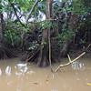 "Mangrove tree roots growing ""up"" rather than ""down"""