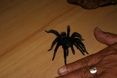 "A ""small"" tarantula that was wandering the grounds.  They knew I wanted to see one, so they brought it up to the room to show me."