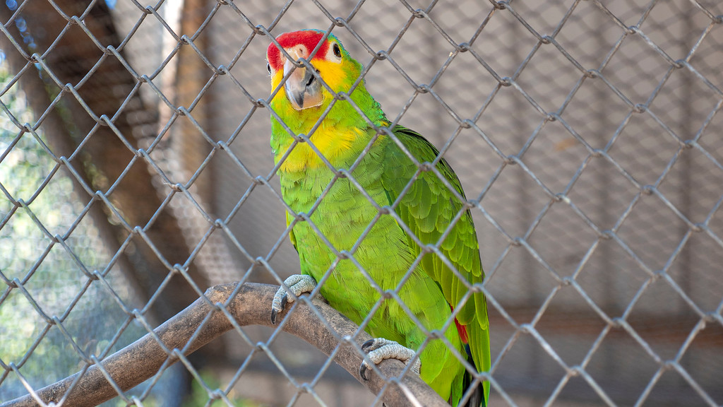 Volunteering with Animals in Guatemala: Amazon parrot