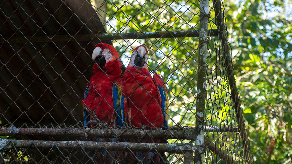 Flores Guatemala: Macaws at ARCAS Kinkajou Kingdom