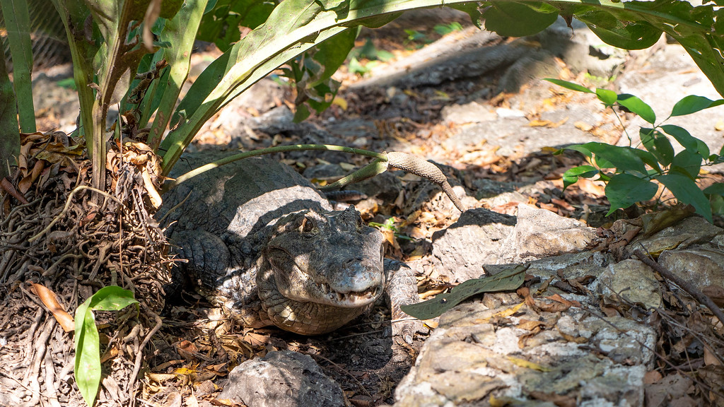 Volunteering with Animals in Guatemala: Crocodile at Kinkajou Kingdom ARCAS