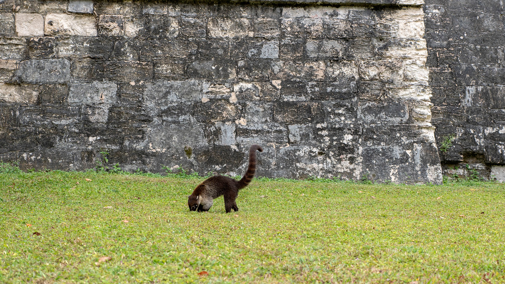 Tikal Guatemala: Coatimundis at the temples