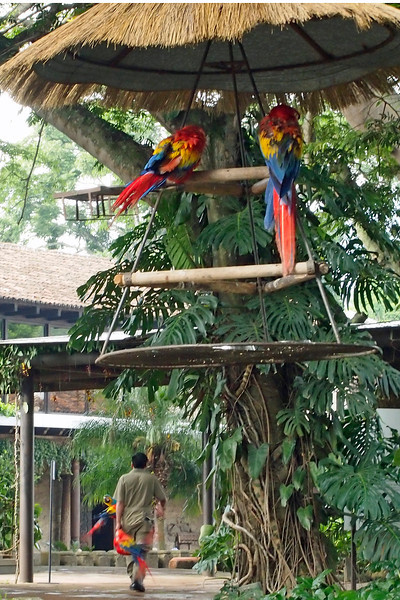 Parrots being carried on a broomstick to their night quarters, Casa Santo Domingo