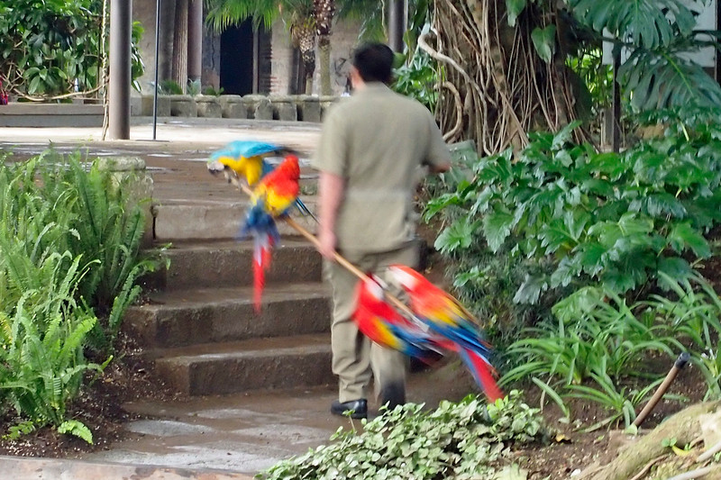 Casa Santo Domingo Parrots going in for the night