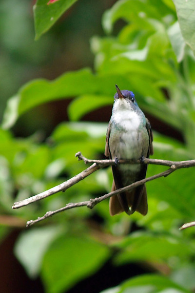 The Azure-Crowned Hummingbird (Amazilia cyanocephala) is found in Belize, El Salvador, Guatemala, Honduras, Mexico, and Nicaragua. It lives in the subtropical or tropical moist mountains of these areas.