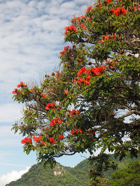 Flame tree near Lake Atitlan