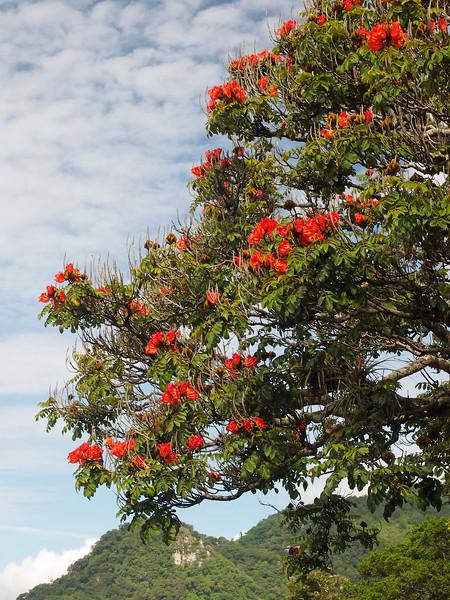 Flame tree near Lake Atitlan