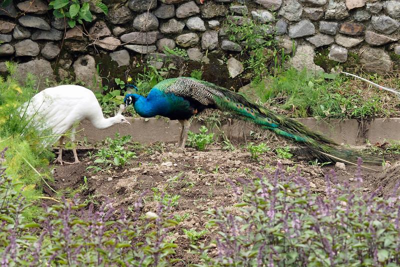Peacocks at Hotel Atitlan