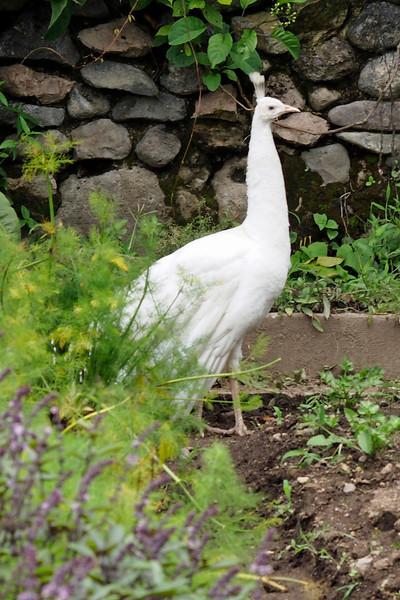 Peacock at Hotel Atitlan