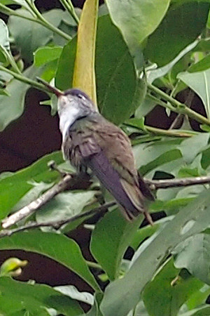 Another view of the Azure Crowned Hummingbird