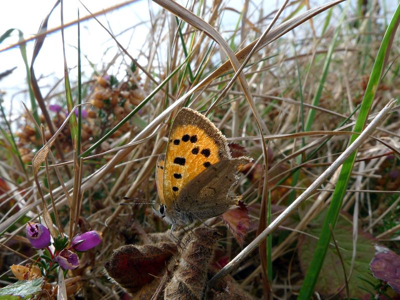 small copper Alderney 021009