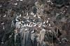 Les Etacs Gannets Alderney 011009